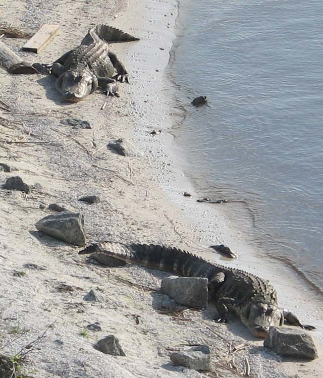 Gators at Nubbin\'s Slough