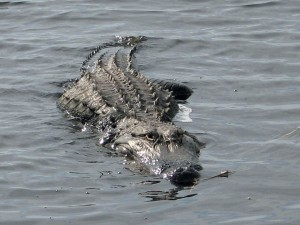 Gator on Lake Okeechobee Scenic Trail (LOST)