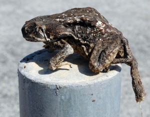 dried-frog