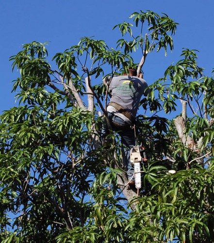 Kelley Tree Service Tree Trimmer in mango tree