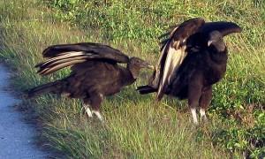 Vultures along Lake Okeechobee Scenic Trail