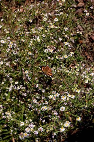 Butterfly near Wittenberg, MO