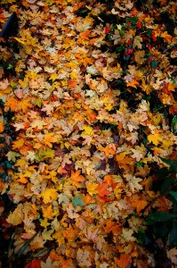 Fallen Leaves at Steinhoff residence in Cape Girardeau, MO