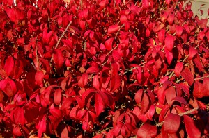 Red leaves found along Broadway in Cape Girardeau, MO